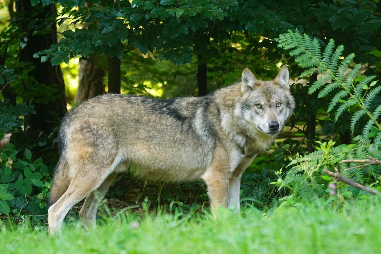 wolf-predator-european-wolf-carnivores-162256